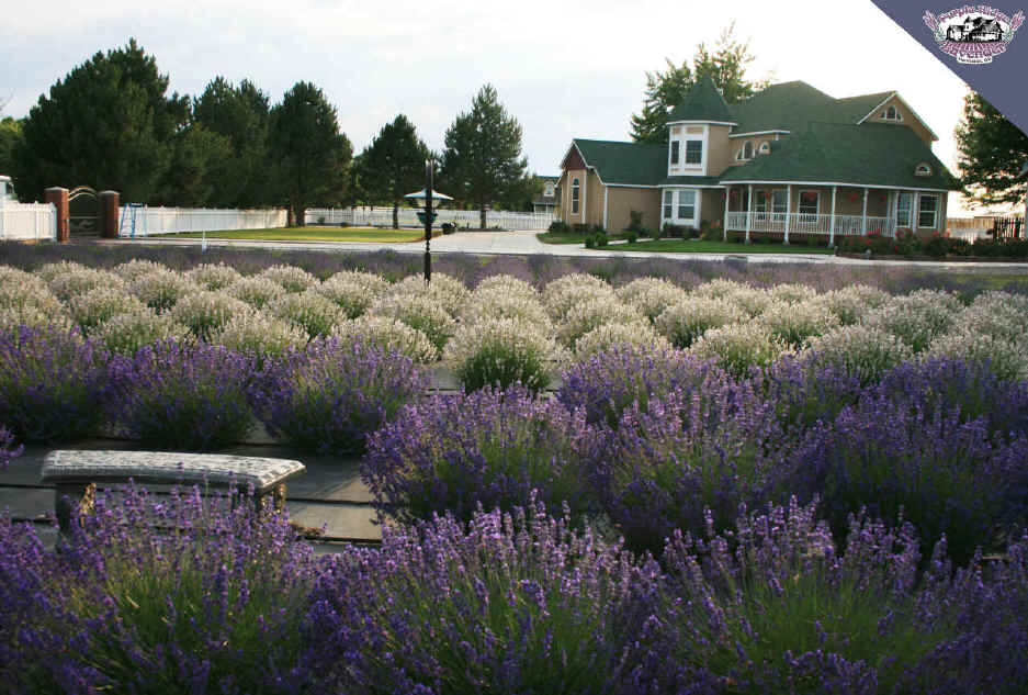 Purple Ridge Lavender Victorian Farm House Hermiston Oregon